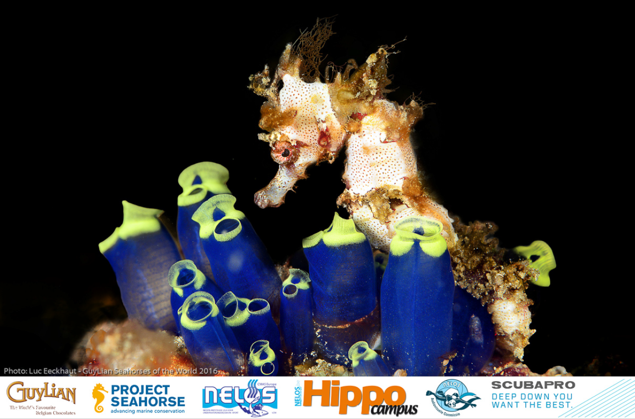 Grand prize winner, Hedgehog seahorse ( H. spinosissimus ). Photo by Luc Eeckhaut/Guylian SOTW
