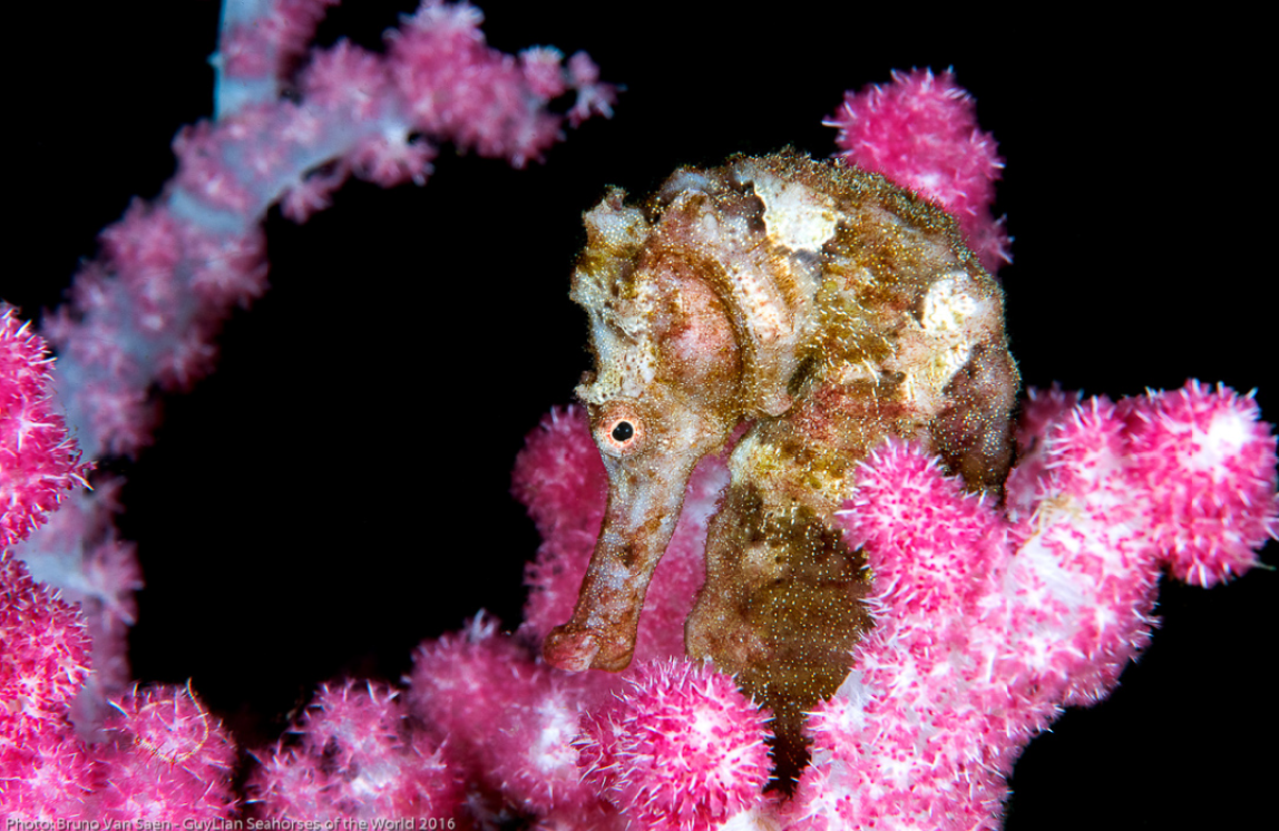 Second place Grand Prize, Spotted seahorse ( H.kuda ).Photo by Bruno van Saen/Guylian SOTW