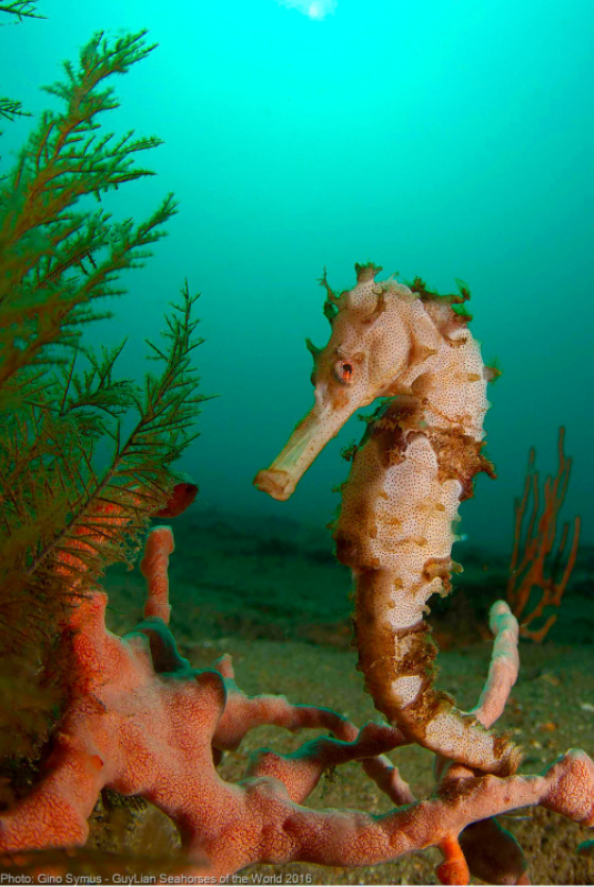 Third place Grand Prize, Hedgehog seahorse ( H. spinosissimus ). Photo by Gino Symus/Guylian SOTW
