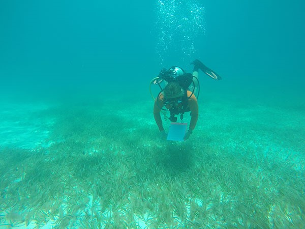 We searched 79 different sites for seahorses and pipefish (Syngnathids), including this continuous seagrass bed. We conducted timed roving diver surveys using scuba to systematically search for our elusive fishes.