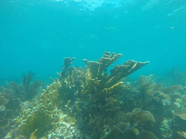 Although the coral reefs of Biscayne National Park are a good place to find this Federally Threatened type of Elkhorn coral,  Acropora palmata , we observed no seahorses or pipefish in coral reef habitats. Instead, we found the highest number of Syngnathids in seagrass beds.