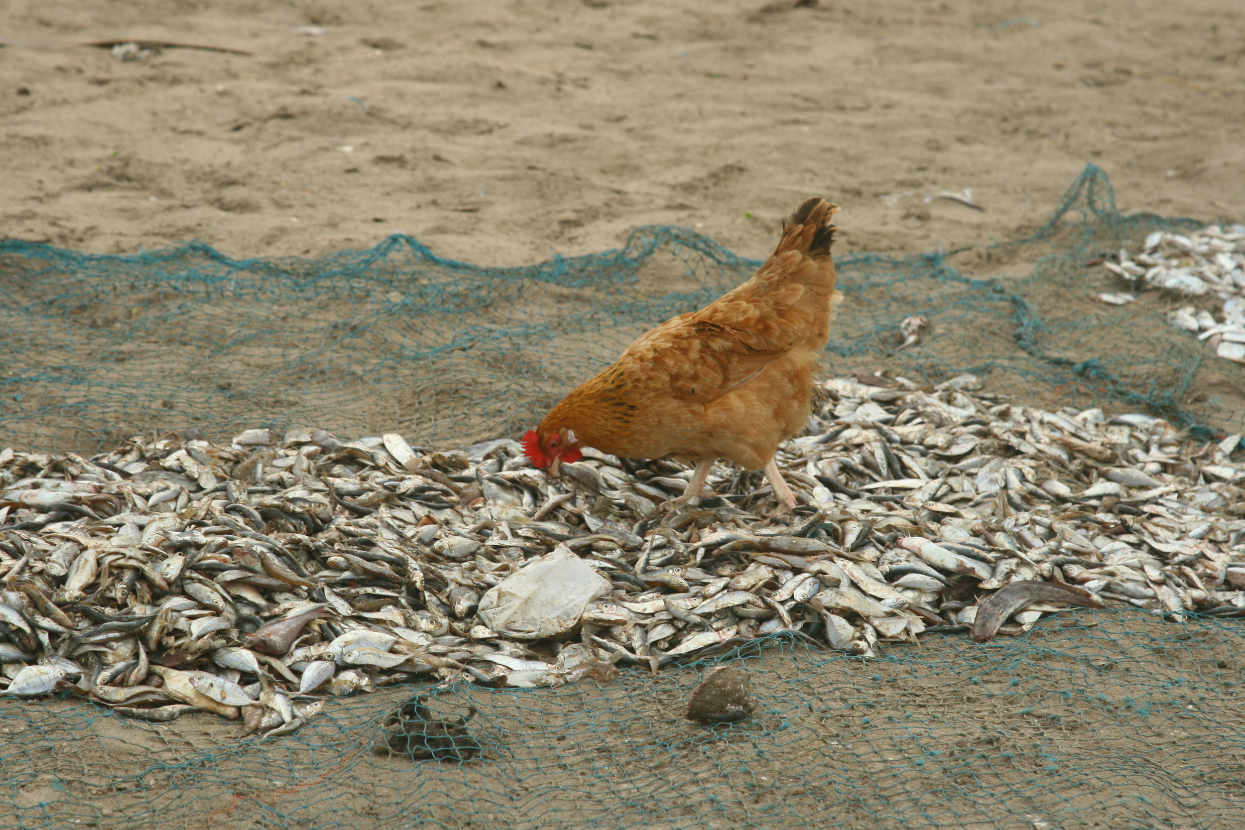Are chickens herbivores? We are not so sure now...  Photo by Tanvi Vaidyanathan/Project Seahorse.