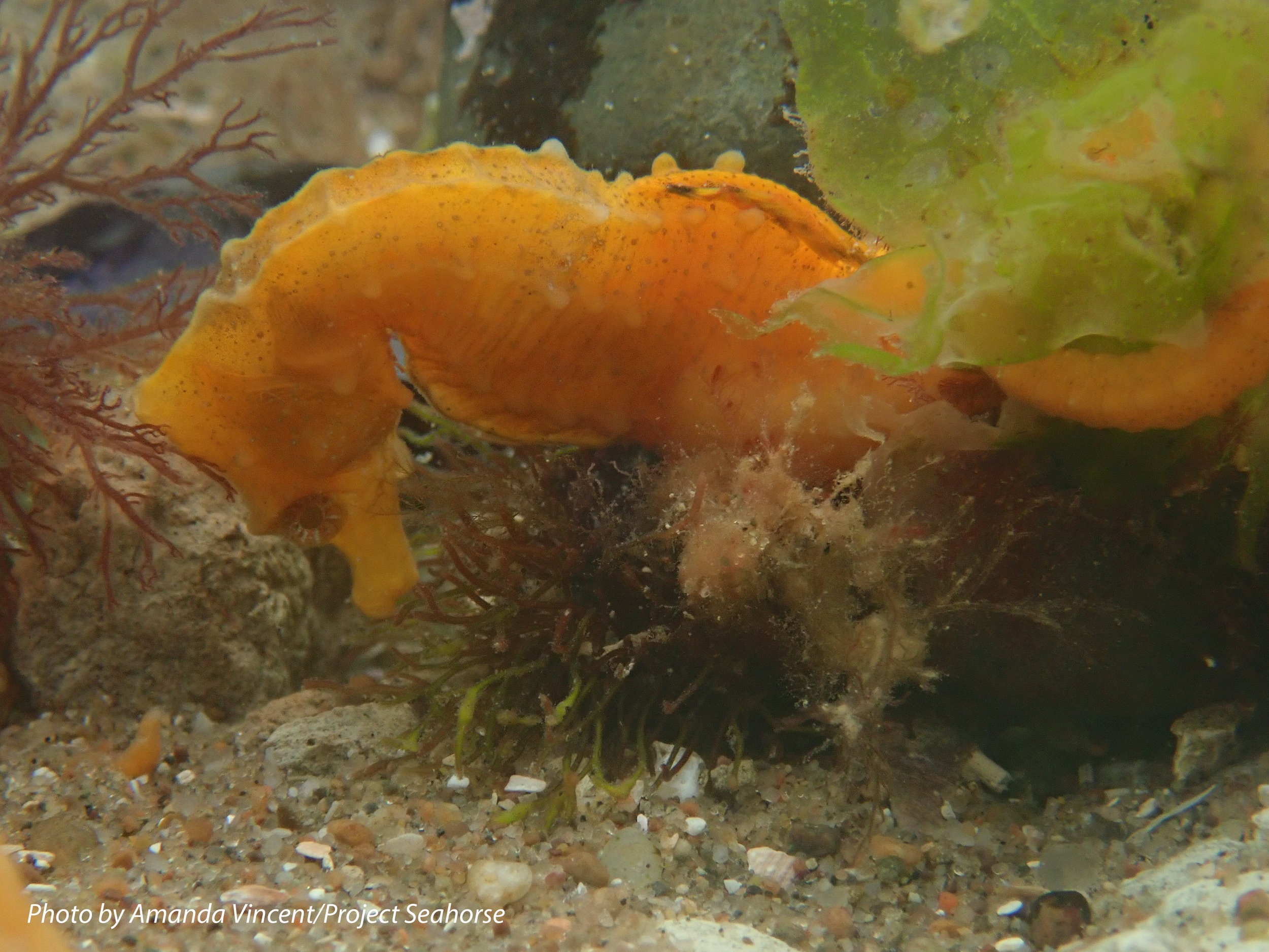 patagonicus-male-2-2017_AV.jpg