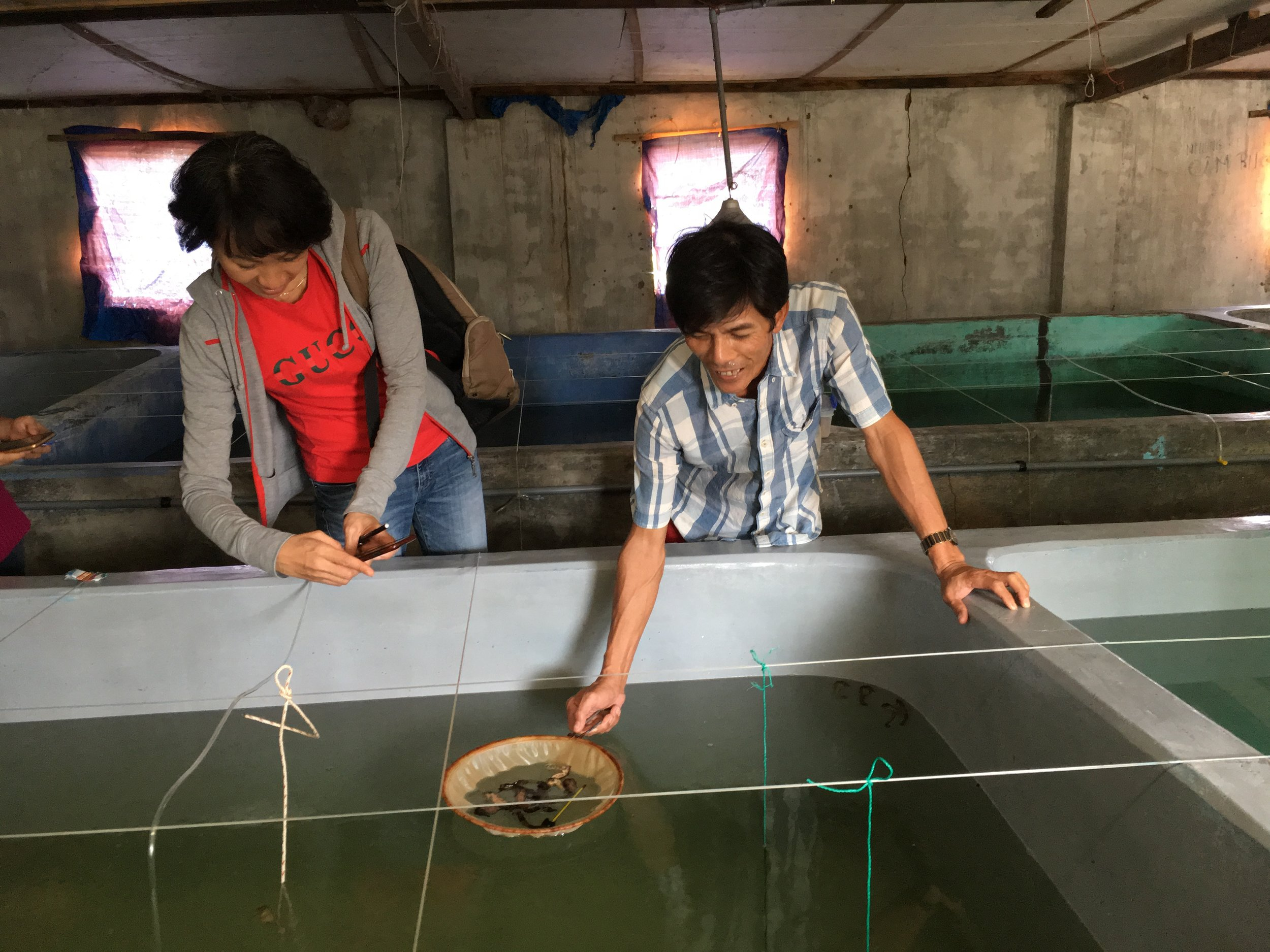 Aquaculture operations in the Cam Ranh, Khanh Hoa Province. Culturists began breeding seahorses in 2004/2005. Seahorses are born in captivity, to wild caught parents, and traded internationally for display in aquariums.