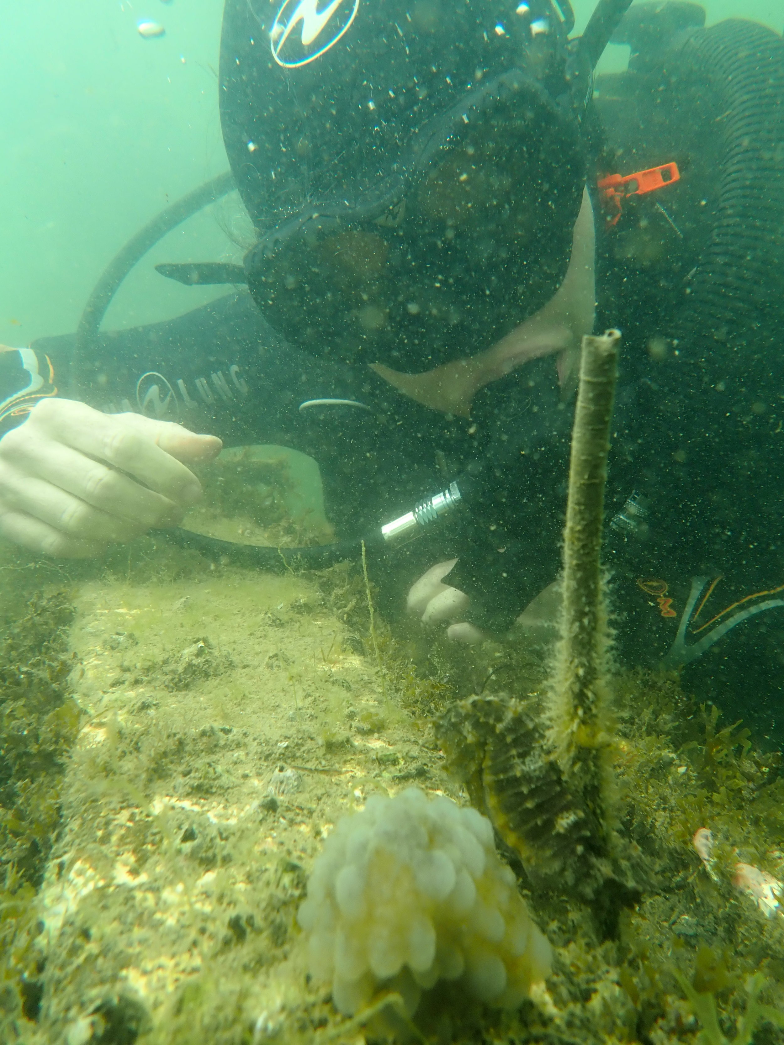 Gina watching a long-snouted seahorse ( H. guttulatus ) in the Etang du Thau, France. Photo by Amanda Vincent/Project Seahorse
