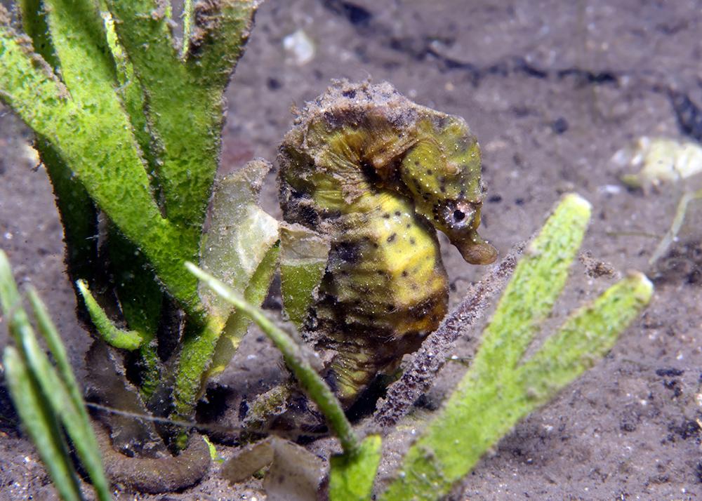Knysna seahorse hiding amongst caulerpa habitat.jpg
