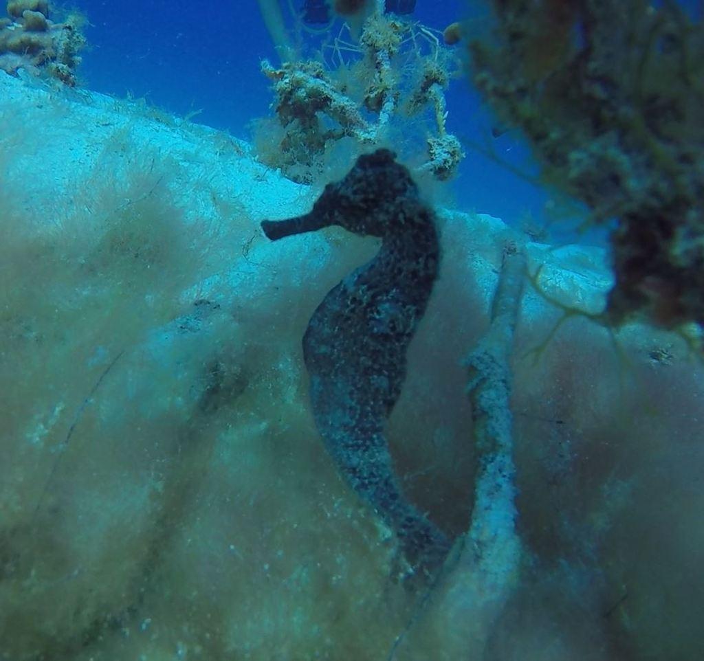 Hippocampus reidi , longsnout seahorse. Photo by Jemma/Utila Dive Center.