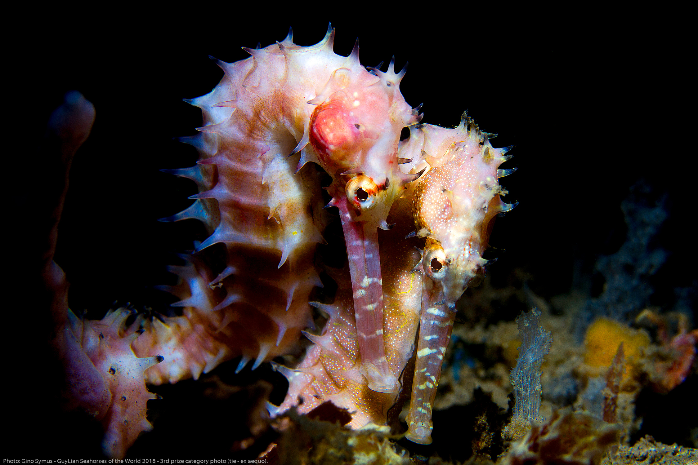 """3rd Grand Prize (tie): """"Happy together"""" Thorny seahorse ( Hippocampus histrix ) in Negros, Philippines. Photo by Gino Symus/Guylian Seahorses of the World."""