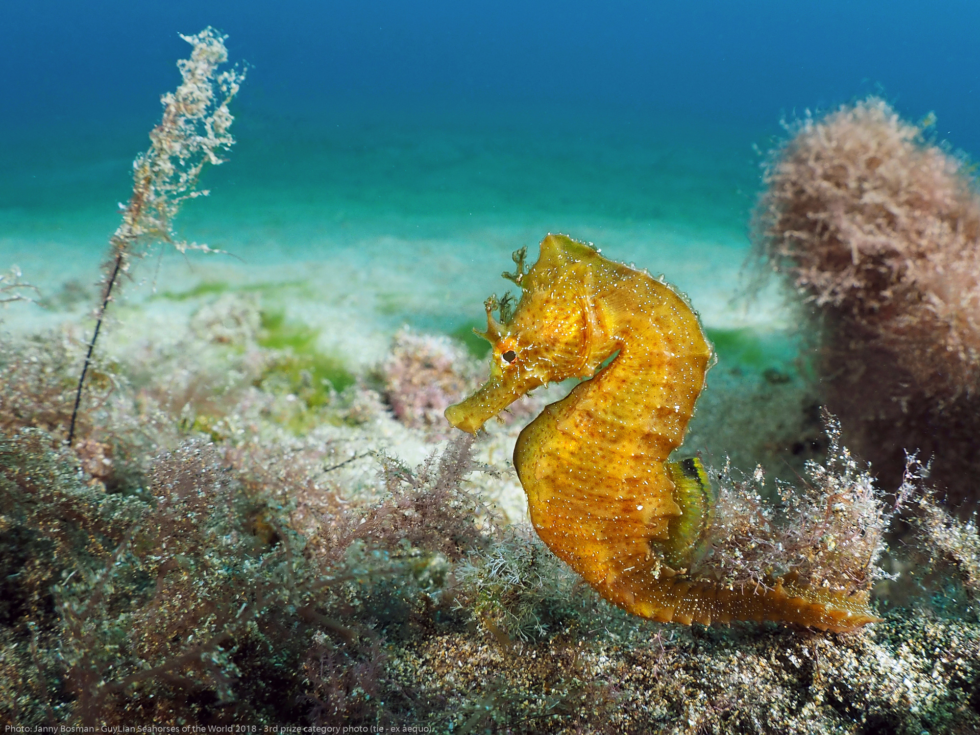 """3rd Grand Prize (tie): """"Yellow one"""" Short-snouted seahorse ( Hippocampus hippocampus)  Playa Chica, Lanzarote. Photo by Janny Bosman//Guylian Seahorses of the World."""