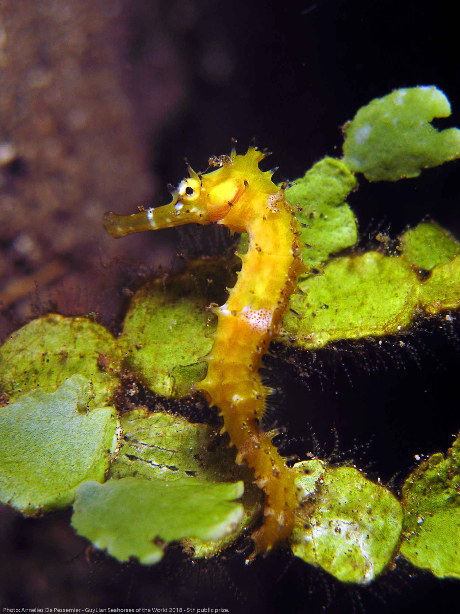 5th Public Prize: Thorny seahorse ( Hippocampus histrix ) in Anilao, the Philippines. Photo by Annelies De Pessemier/Guylian Seahorses of the World.