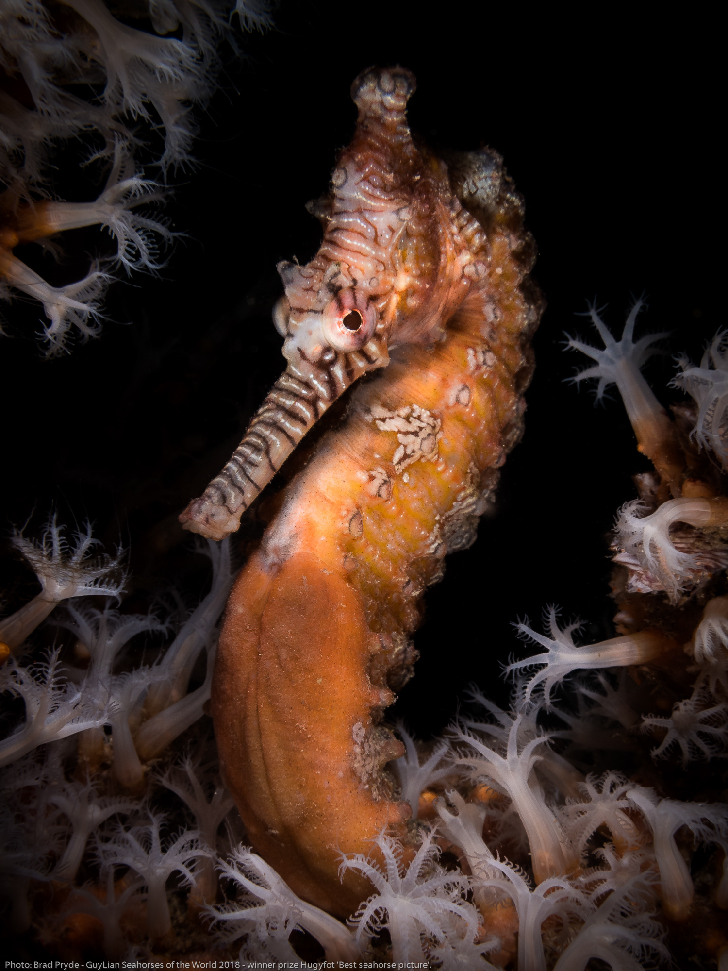 """Winner of the Hugyfot Prize: """"Field of Dreams"""" West Australian seahorse ( Hippocampus subelongatus)  in   Perth, Western Australia. Photo by Brad Pryde/Guylian Seahorses of the World."""