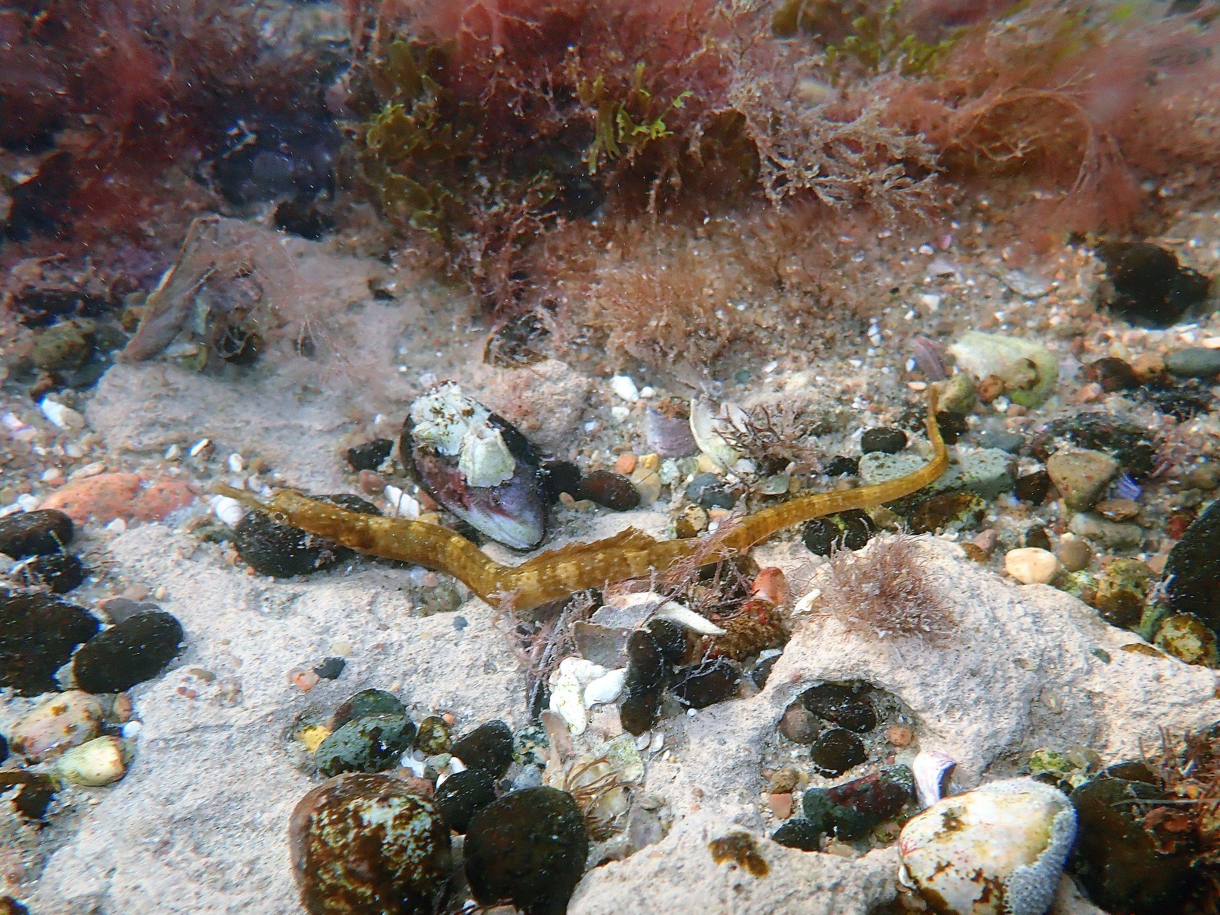 pipefish_LeptonotusVincentae_3_DiegoLuzzatto.jpg