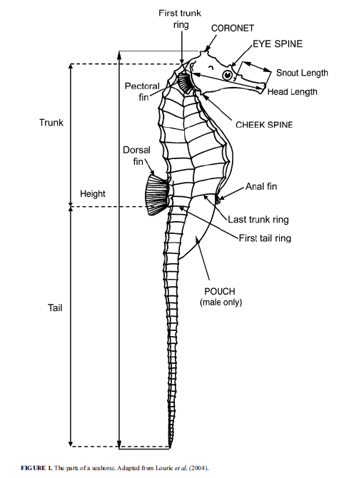 Parts of a seahorse.  Adapted from Lourie et al, 2004.