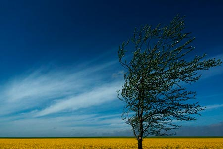 Vibrant blue sky against a brilliant golden field on a very low horizon line.