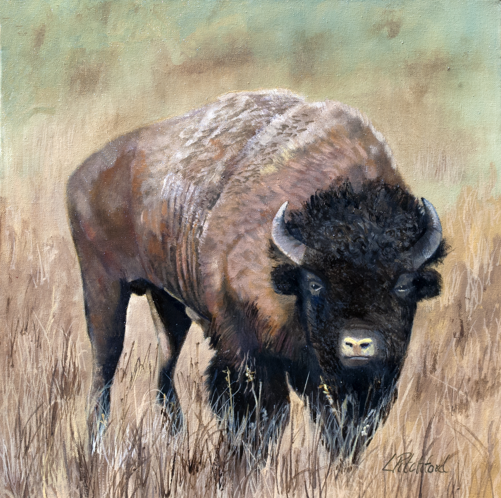 Buffalo of the American Serengeti