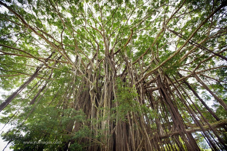 banyan tree - hilo, hawaii