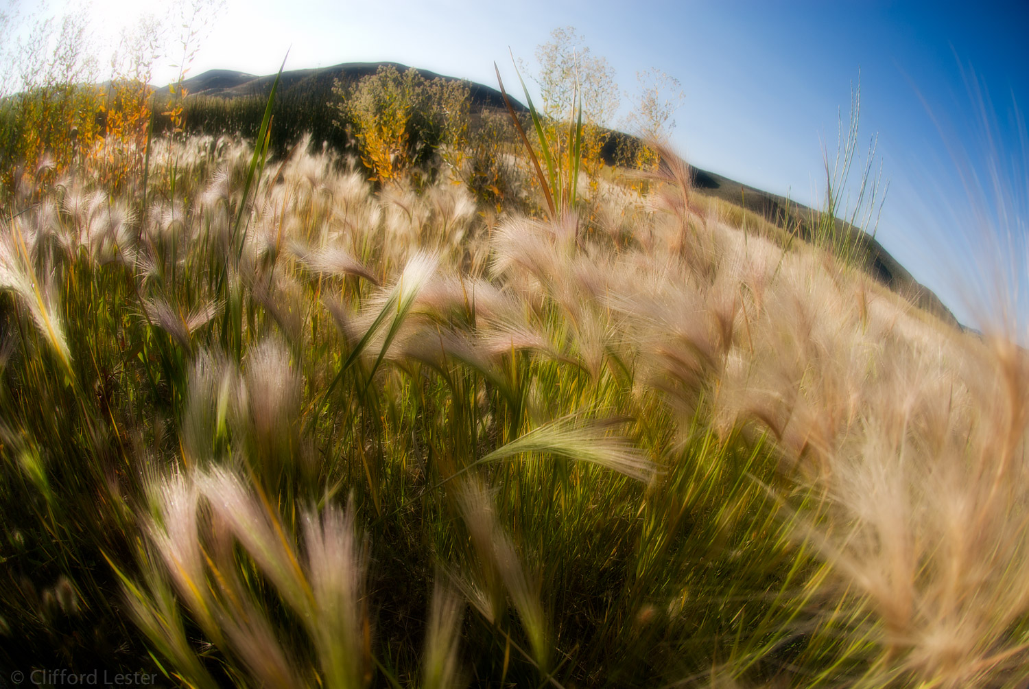Foxtails - Carson Valley
