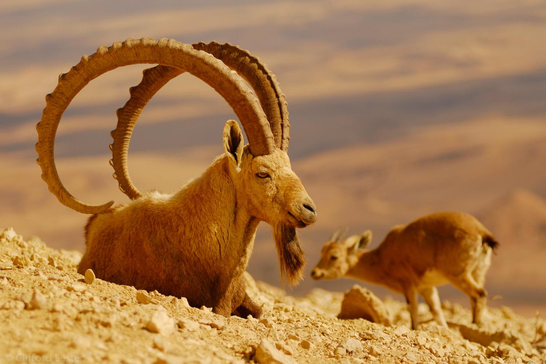 Ibex, West Bank, Israel