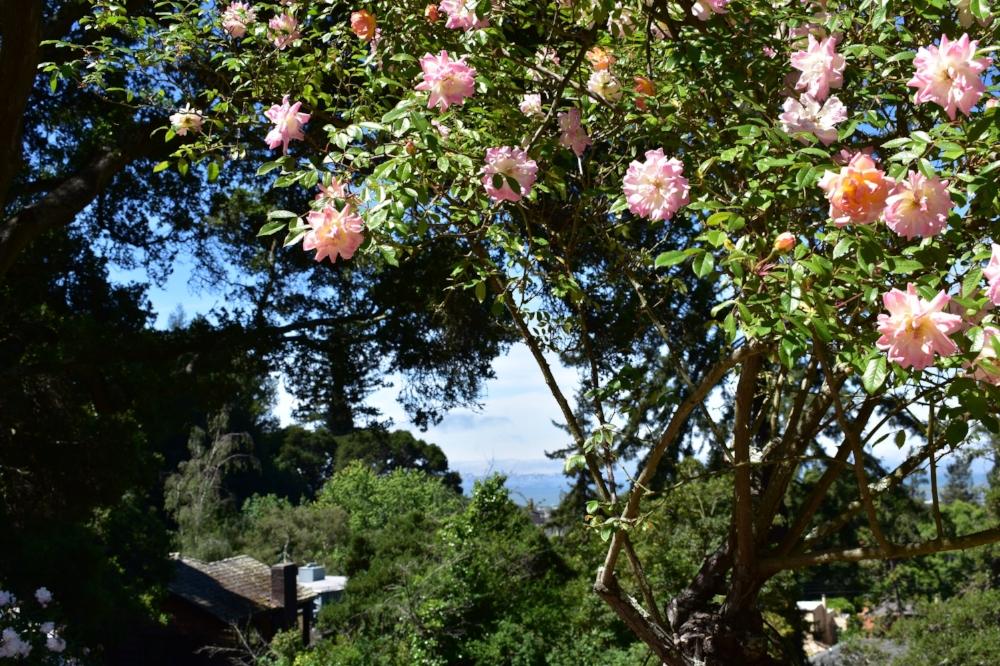 San Francisco from the Berkeley Rose Garden