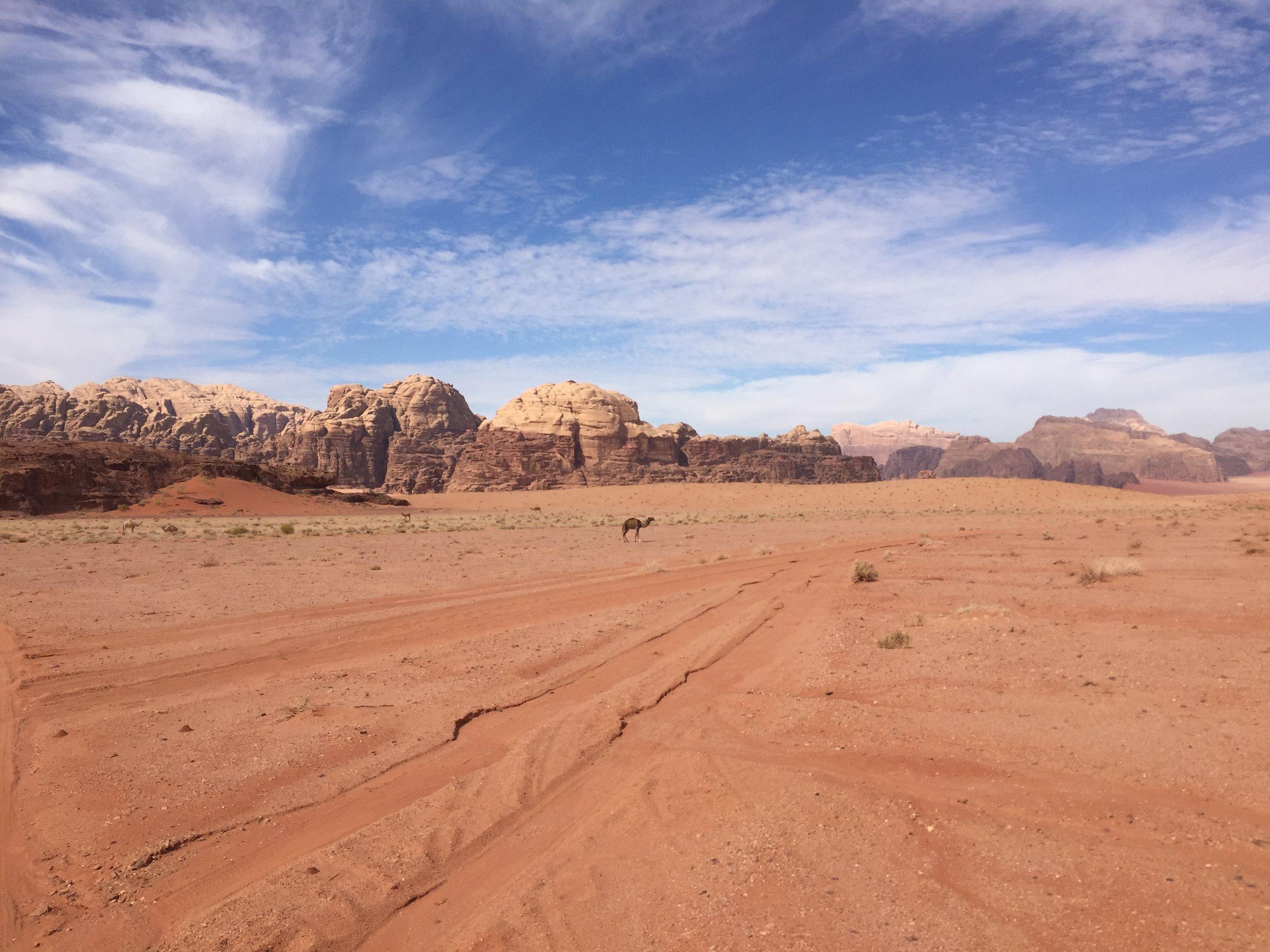 Camels roaming free in Wadi Rum