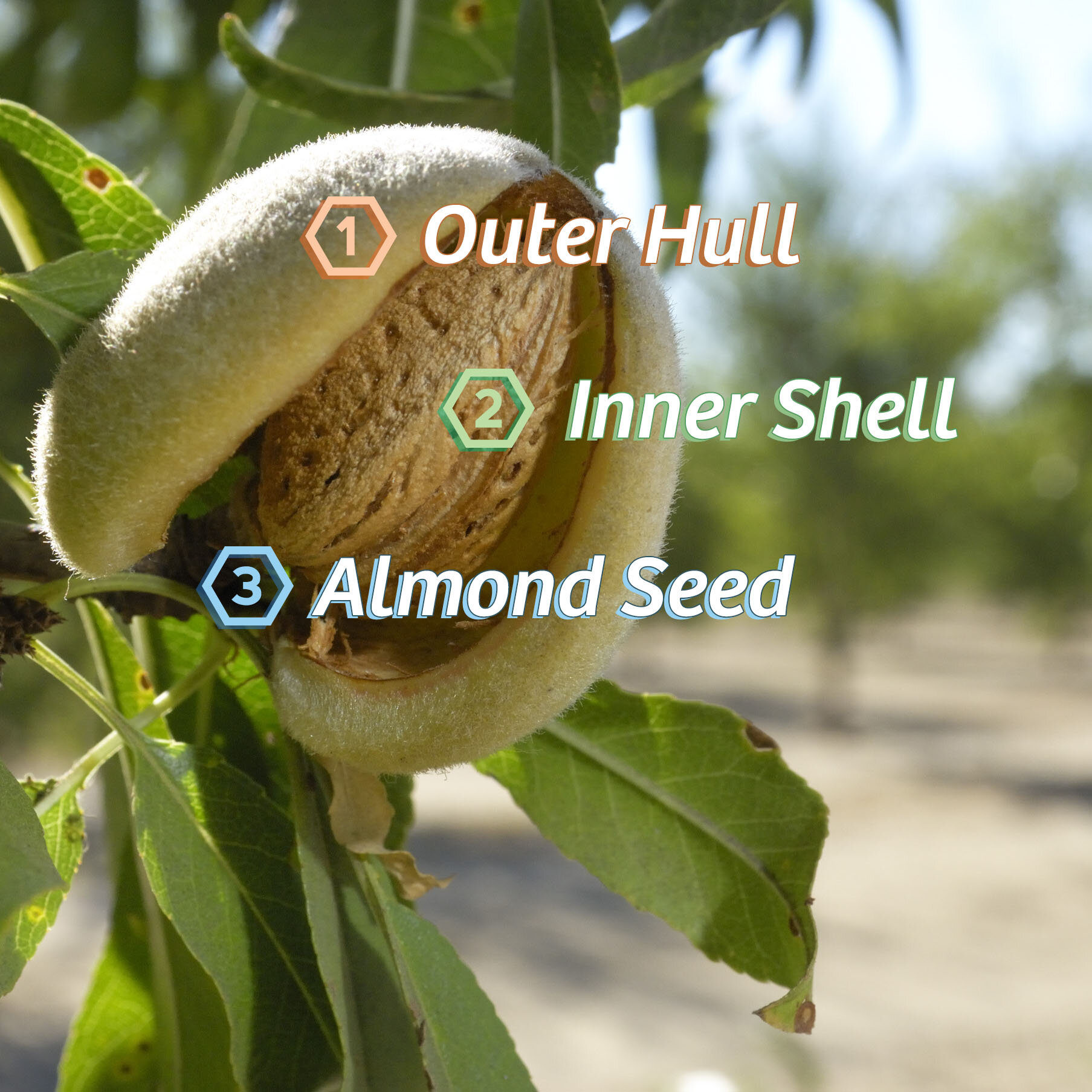 Origin Almond is proud to useZero-Waste Almonds - meaning every part of the harvested almond fruit is used or upcycled:1. Soft Outer Hull is used as an alternative food source for cattle & livestock.2. Hard Inner Shell is used to power clean-burning bio fuel.3. We use the entire Almond Seed when making our almond juice productsThis results in Zero Food Waste and a sustainable approach to us protecting our planet while combating the excess sugar epidemic!
