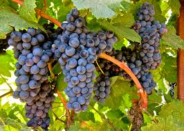 tannat grape vines