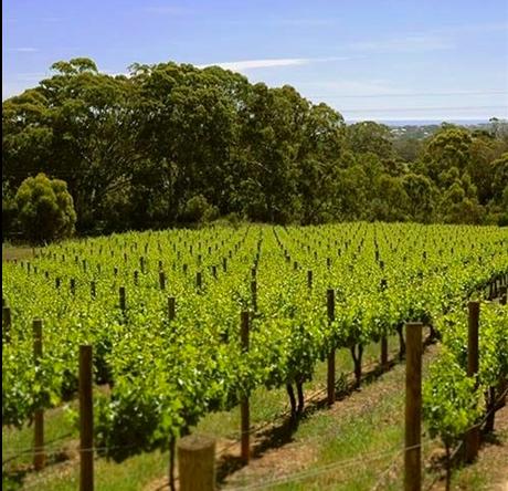 Pennys hill vineyard shot
