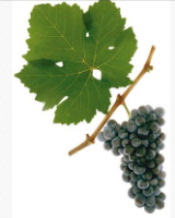 St. Laurent grape and leaf