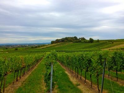 Niederösterreich vineyard