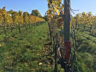 Pinot Noir, Thermenregion vineyard,Austria