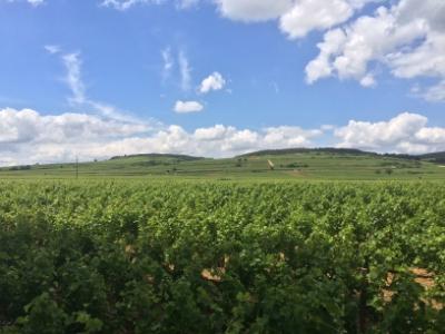 Cote d'or vineyard