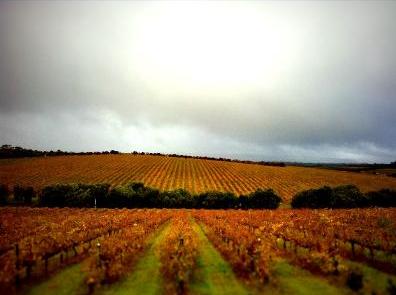 d'arenberg vineyard