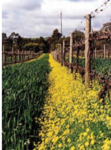 Battle of Bosworth vineyard McLaren Vale