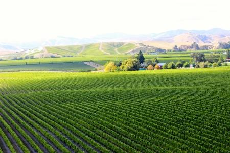 Brancott vineyard, Brancott Estate