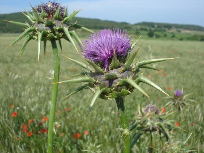 milk thistle in field