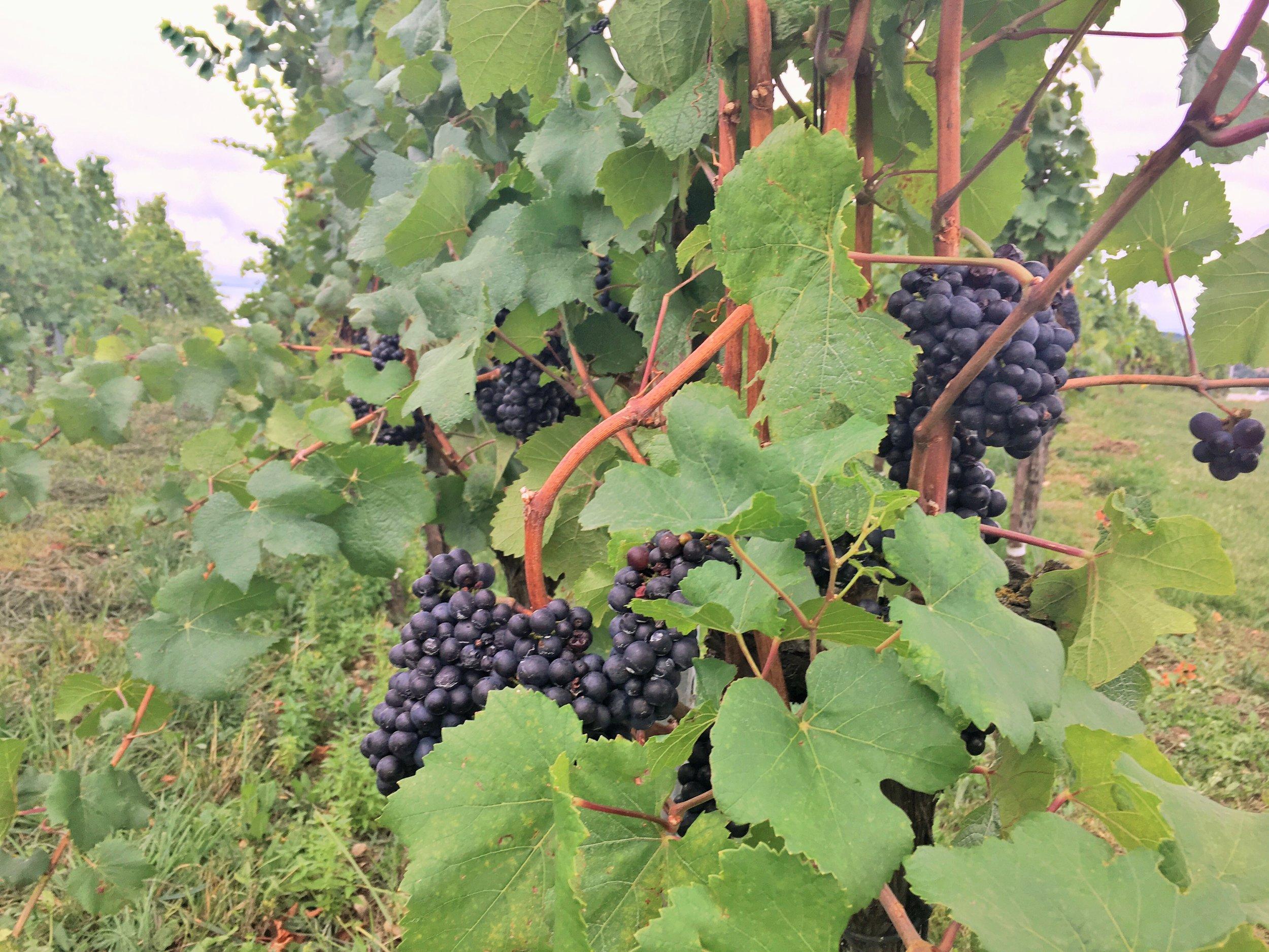 Grapes Auvernier Switzerland September 2017