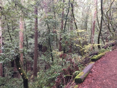 Armstong Redwoods state park East Ridge trail