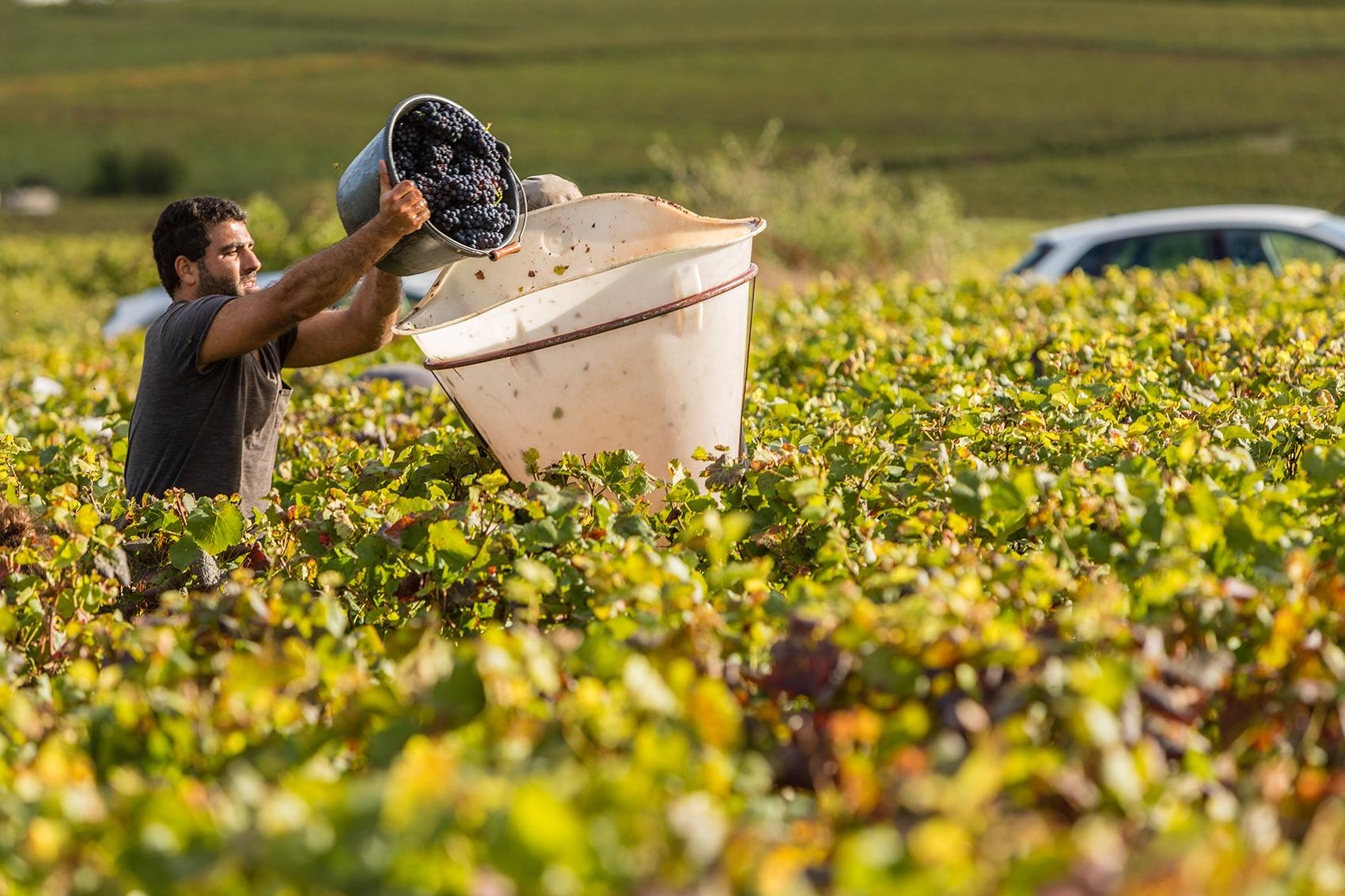 harvest_burgundy.jpg