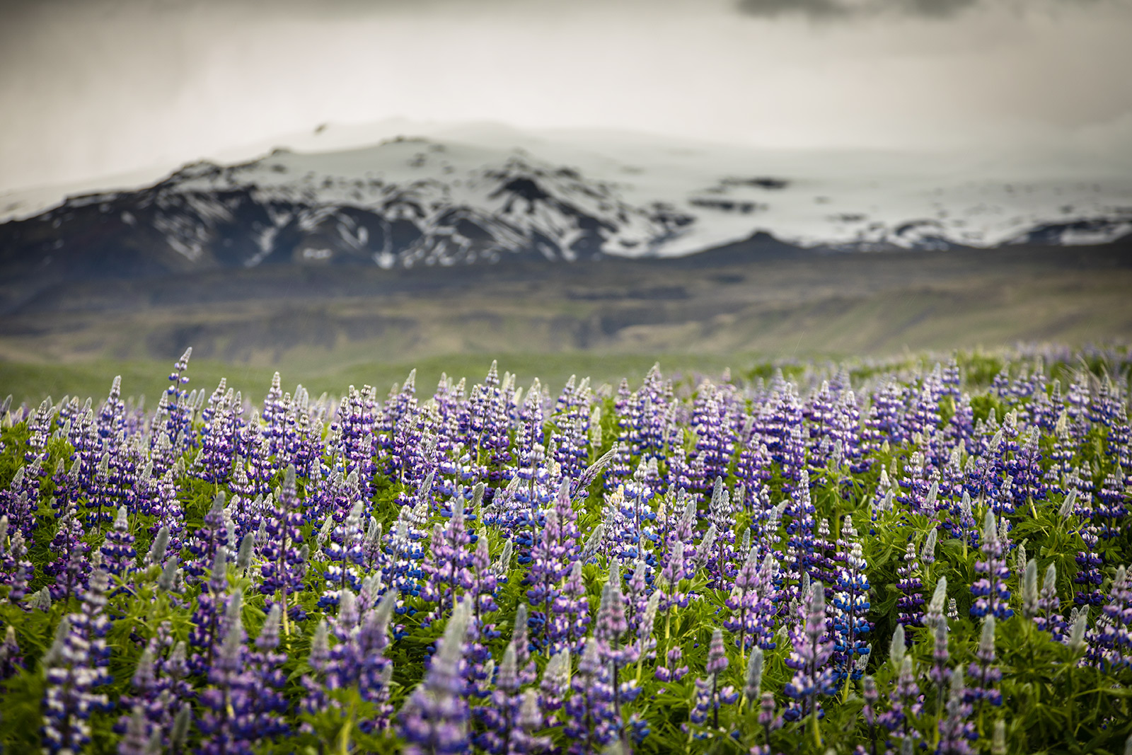 lupins-flowes-iceland.jpg