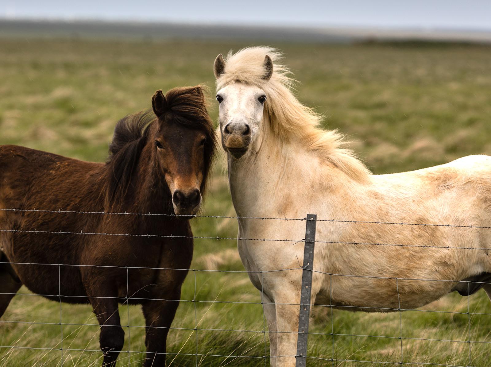 horses-iceland.jpg