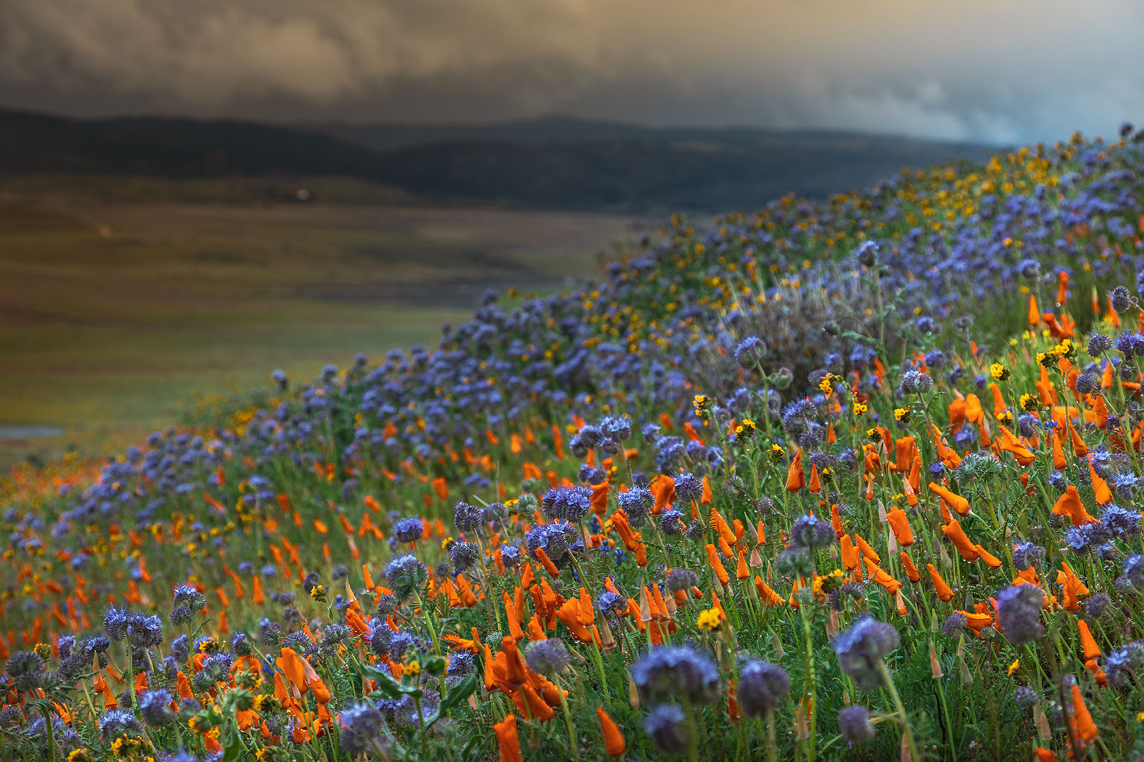 The contrast of colors of the flowers with the dramatic dark sky