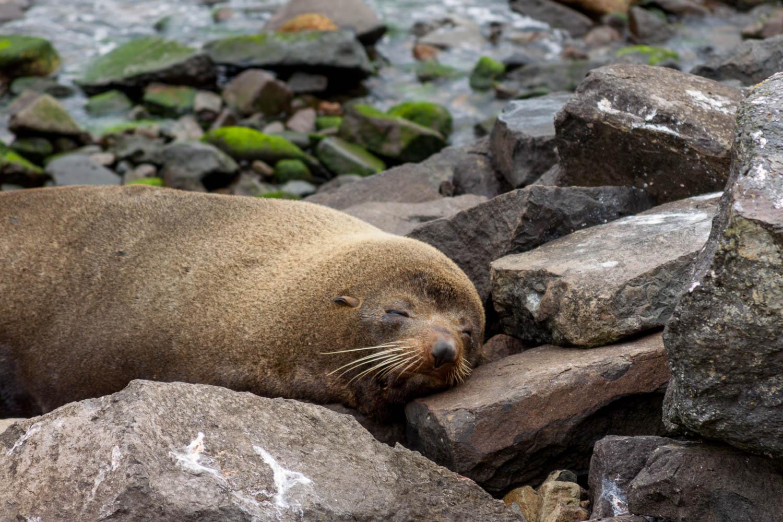 Fur Seal, Dunedin, Otago Peninsula