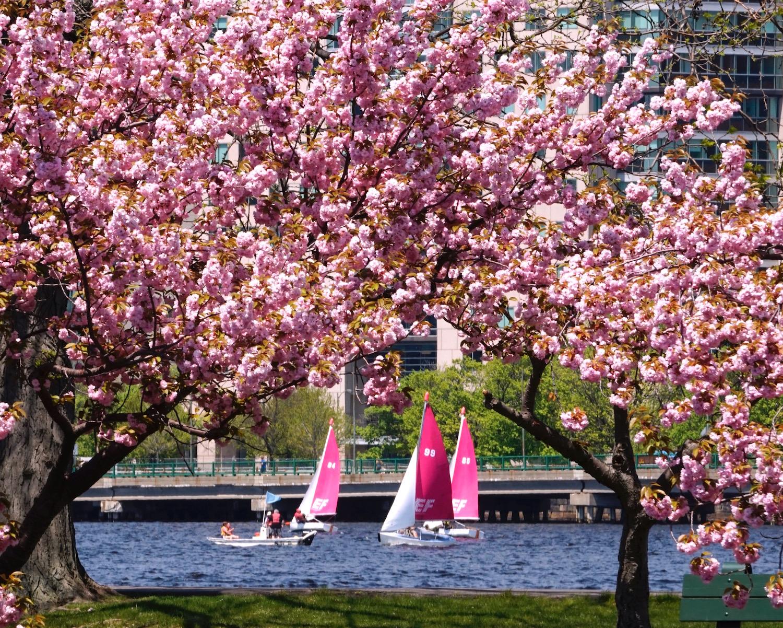 sailboatsand blossoms.jpg