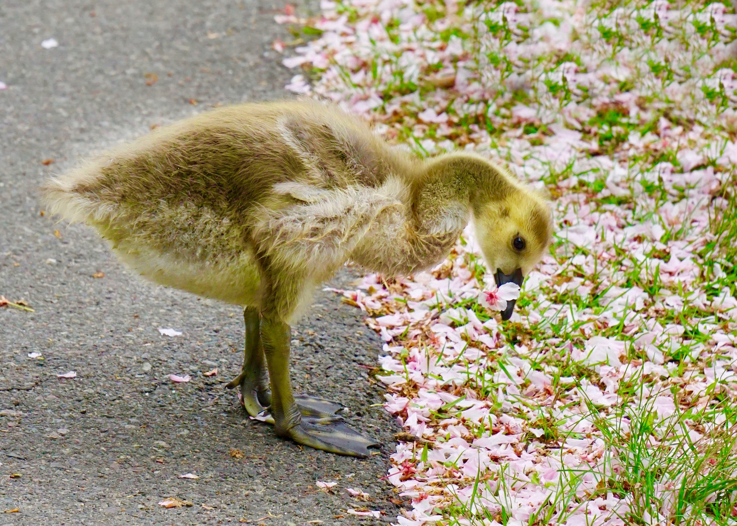 Duckling with blossom