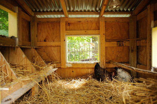 Despite the illegality of backyard chickens, ownership is apparently on the rise.