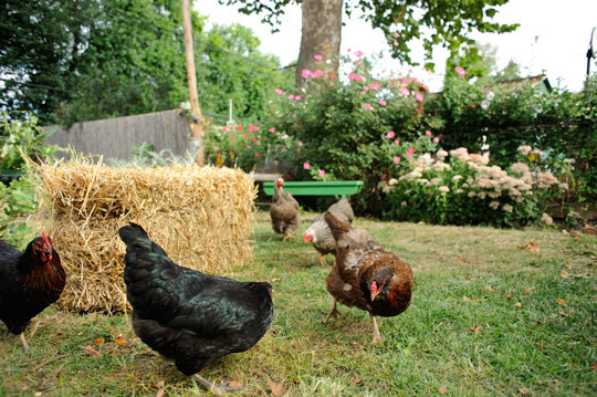 Maureen Breen's chickens wander about her yard on a warm September day.