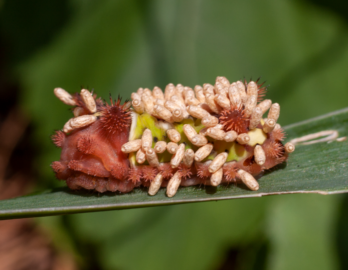 Saddleback caterpillar ( Acharia stimulea ) hosting some very unwelcome guests ( Cotesia  sp.) (photo by Luke Hearon  @luke.hearon )