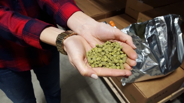 The trends have moved away from the bittering hops towards the more flavourful aroma hop varieties, such as Citra and Cascade, which account for about 70 per cent of current crops, according to Hop Growers of America. (Sarah Lawrynuik/CBC)