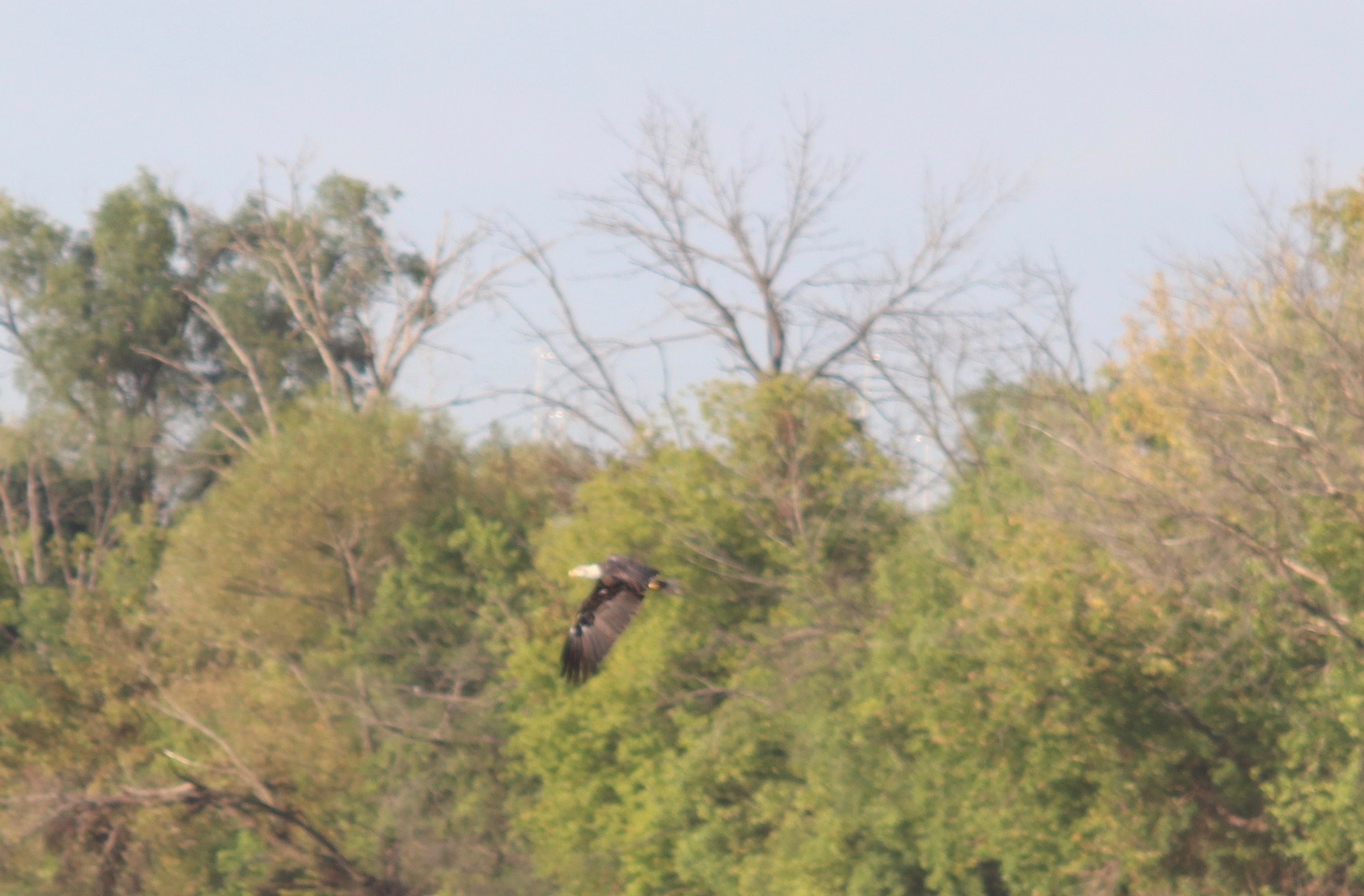 First of many eagle sightings