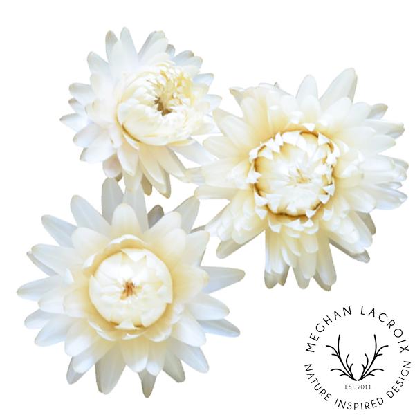 Straw Flower - Creamy White -